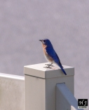 1- Male Eastern Bluebird sits on fence scanning around the backyard.