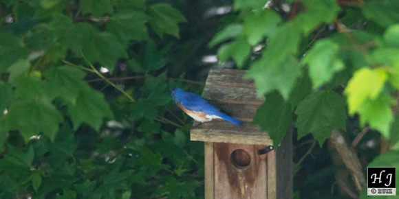4- Male finds the old bluebird house, seems to approve it.