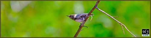 Brown-headed Nuthatch ---Click to enlarge image