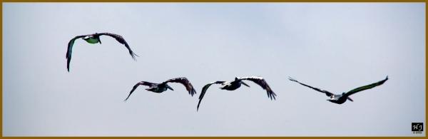 Peruvian Pelicans ---Click image to enlarge ---