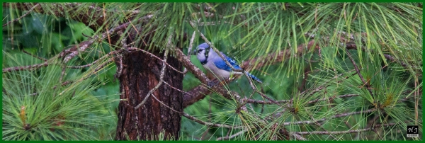 Blue Jay ---Click image to enlarge ---