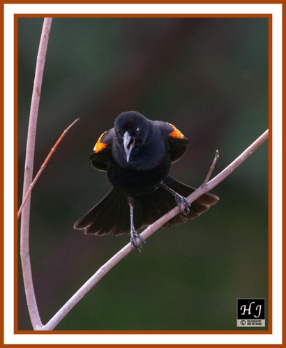 RED-WINGED BLACKBIRD (M) -- AGELAIUS PHOENICEUS