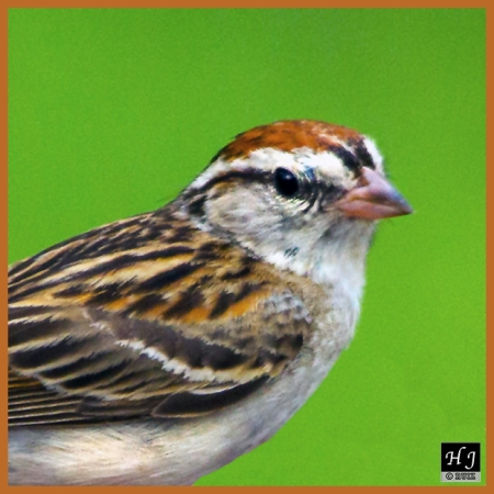 Chipping Sparrow --