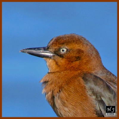 Boat-tailed Grackle (F)