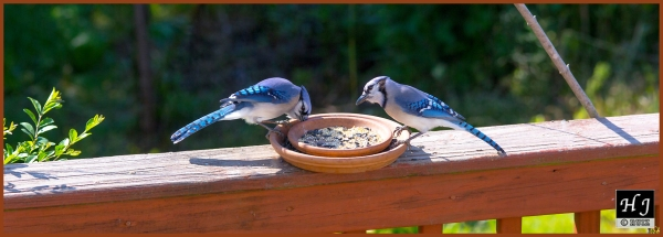 Blue Jays ---Click on image for enlargement---