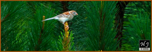 Field Sparrow ---Click image for enlargement---