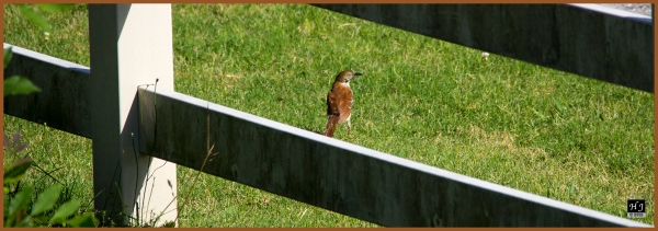 Brown Thrasher ---Click image for enlargement---