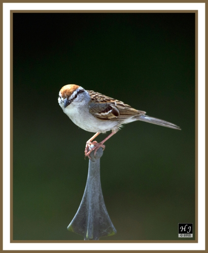 Chipping Sparrow --SPIZELLA PASSERINA