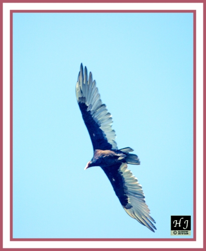 Turkey Vulture --CATHARTES AURA
