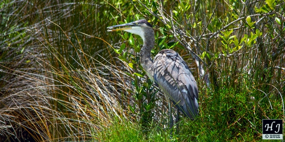 "Great Blue Heron "" The Mayor"""