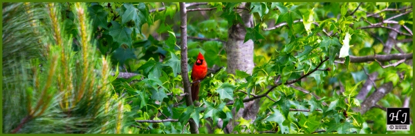 Northern Cardinal (M) ---Click on image to enlarge---