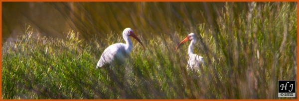 American Ibis ---Click image for enlargement---