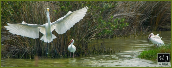 Great Egret and company ---Click on image for enlargement---