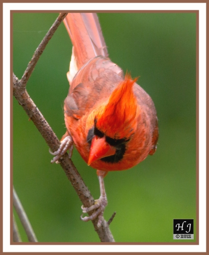 Northern Cardinal (M) --CARDINALIS CARDINALIS--