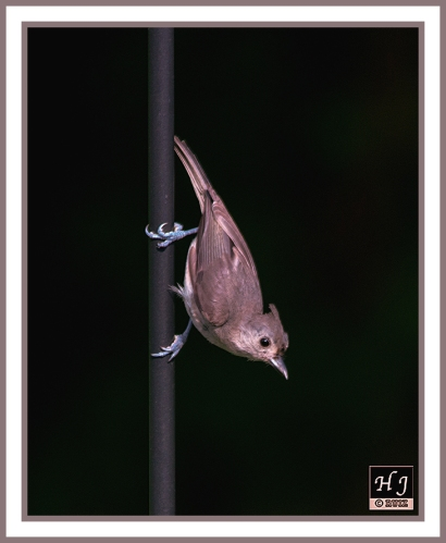 Tufted Titmouse --BAELOPHUS BICOLOR