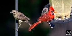 Brown-headed Cowbird (F), Northern Cardinal (M)
