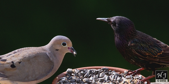 Mourning Dove & European Starling