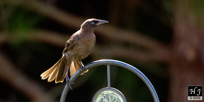 Common Grackle (I)