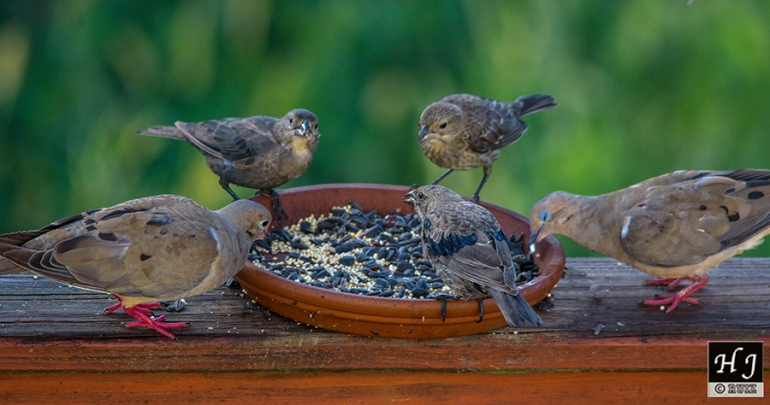 Mourning Dove with Brown-headed Cowbirds
