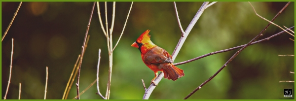 Northern Cardinal (M) ---Click image to enlarge---