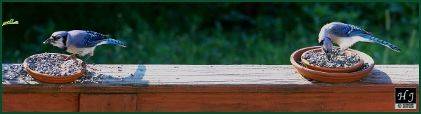 Blue Jays ---Click image for enlargement---