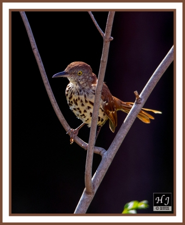 Brown Thrasher ---TOXOSTOMA RUFUS ---