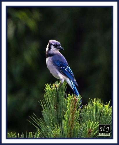 Blue Jay -- CYANOCITTA CRISTATA