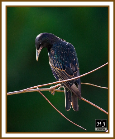 European Starling --STURNUS VULGARIS
