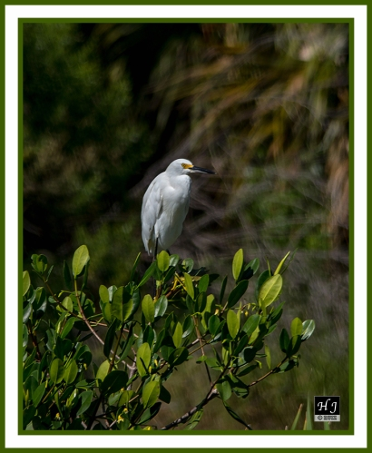 Snowy Egret -EGRETTA THULA