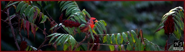 Northern Cardinal (M) ---Click image to see enlargement---
