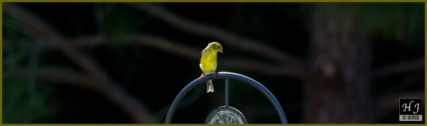American Goldfinch (F) ---Click image for enlargement---