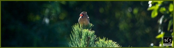 Northern Cardinal (F) ---Click image for enlargement---