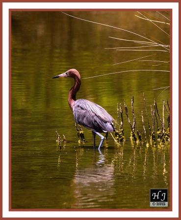 Reddish Egret --BURHINUS SUPERCILIARIS