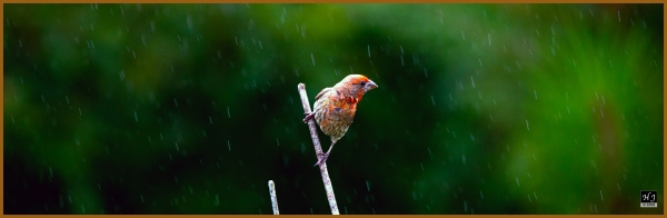 House Finch (M) ---Click image to enlarge---