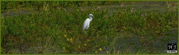 Little Blue Heron (Morph) ---Click image for enlargement---