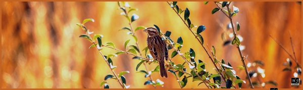 Chipping Sparrow ---Click image for enlargement---