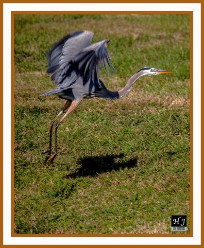 Great Blue Heron -- ARDEA HERODIAS