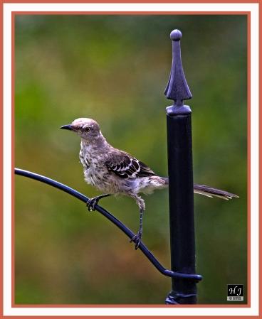 Northern Mockingbird (J) -MIMUS POLYGLOTTOS