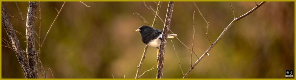 Dark-eyed Junco ---Click image for enlargement---
