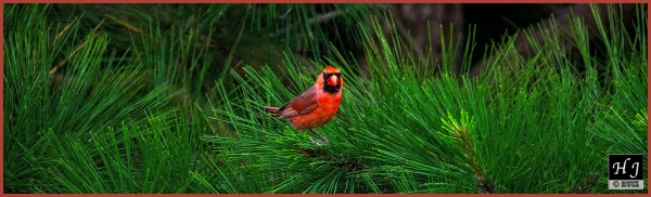 Northern Cardinal (M) ---Click image for enlargement---