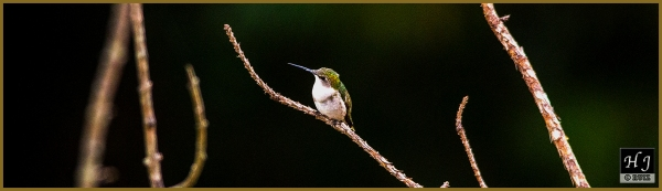 Ruby-throated Hummingbird ---Click image for enlargement---