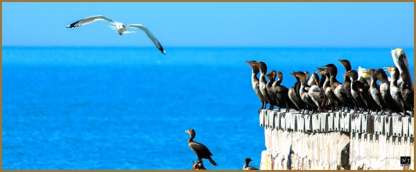 Cormorants Gathering ---Click image for enlargement---