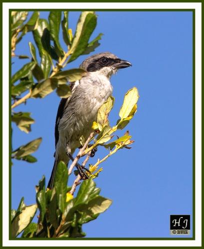 Loggerhead Shrike --LANDS LUDOVICIANUS