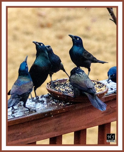 Common Grackles --QUISCALUS QUISCULA