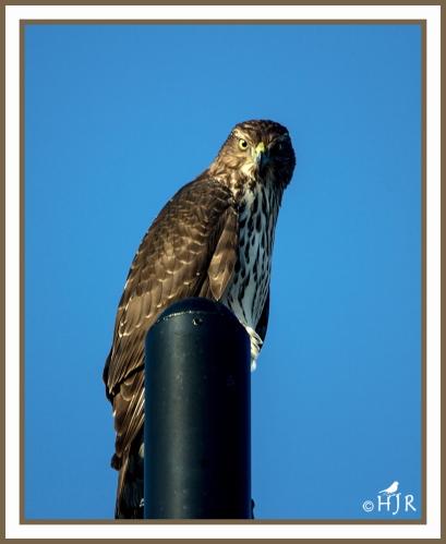 Cooper's Hawk --ACCIPITER COOPERII