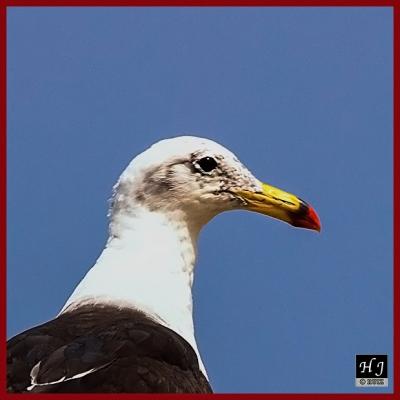Peruvian Gull