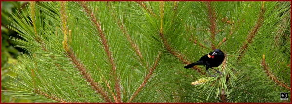 Red-winged Blackbird ---Click image for enlargement---