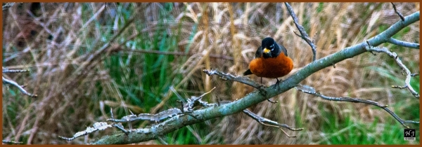 American Robin ---Click image for enlargement---