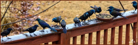 Common Grackles ---Click image for enlargement---