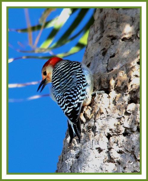 Red-bellied Woodpecker -- MELANERPES CAROLINUS